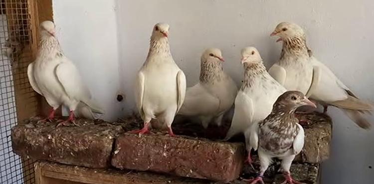 چوری کی انوکھی واردات: چور قیمتی سامان کے بجائے لاکھوں مالیت کے کبوتر لے اڑے